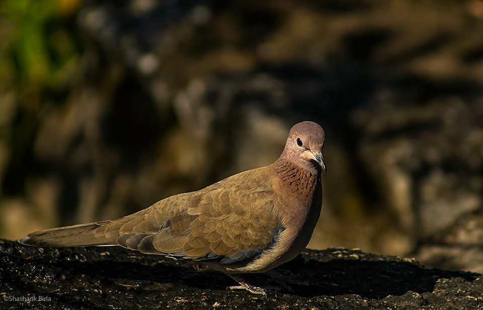 Laughing Dove (Spilopelia senegalensis)- A distinctive pattern of rufous split feathers, give the impression the dove is wearing a necklace.