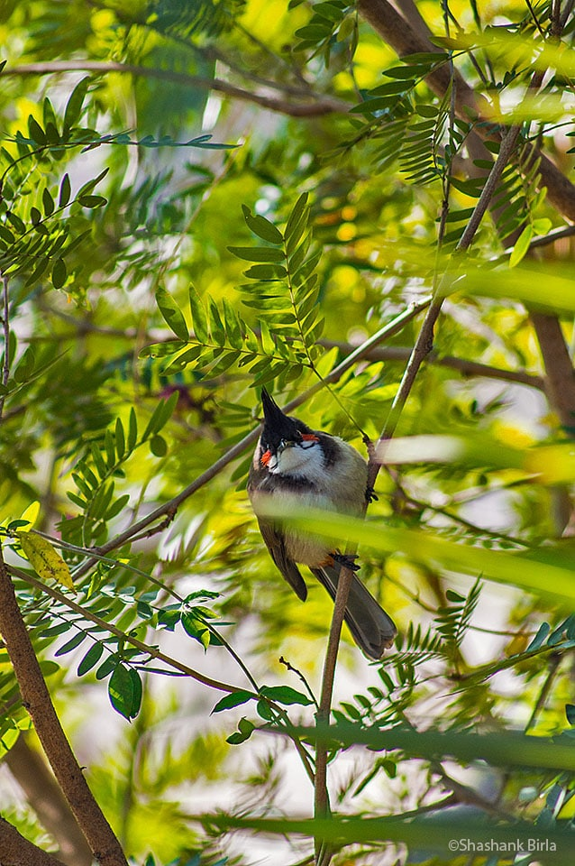 The original 'Angry Bird'- Red-Whiskered Bulbul (Pycnonotus jocosus)- Both the Red-Whiskered and Red-Vented bulbuls were abundant whether it be Abu's town side or its forested slopes.