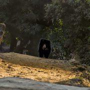 sloth bear profile 1 180x180 - Communing with Nature: BR Hills, Karnataka, India