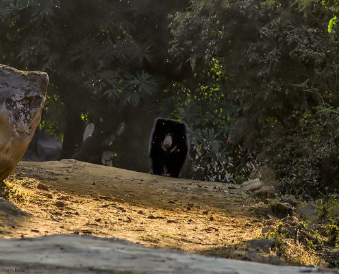 sloth bear profile 1 495x400 - Mount Abu- Encounter with Big Black Baloo