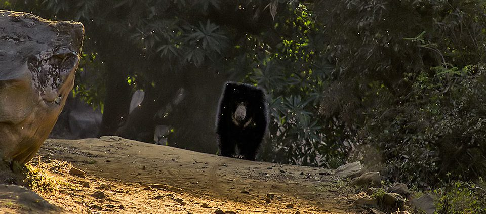 Bears have poor eyesight, fortunately this individual sensed our presence from some distance.