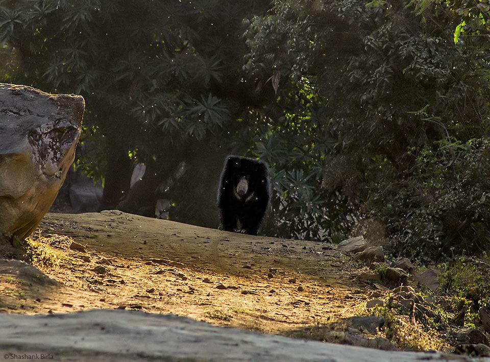Sloth Bear Profile, Mount Abu, Rajasthan, India