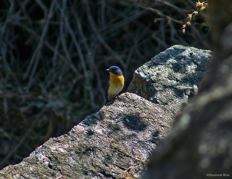 The Tickell's Blue Flycatcher (Cyornis tickelliae) is a forest-loving species, found in thick cover and shade, and particularly haunts the banks of wooded streams, exactly where we found this individual.