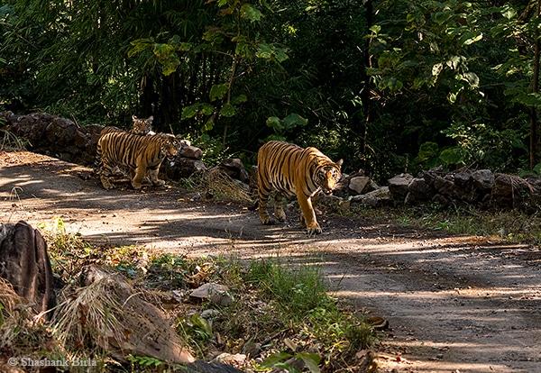Tigress Moves Closer
