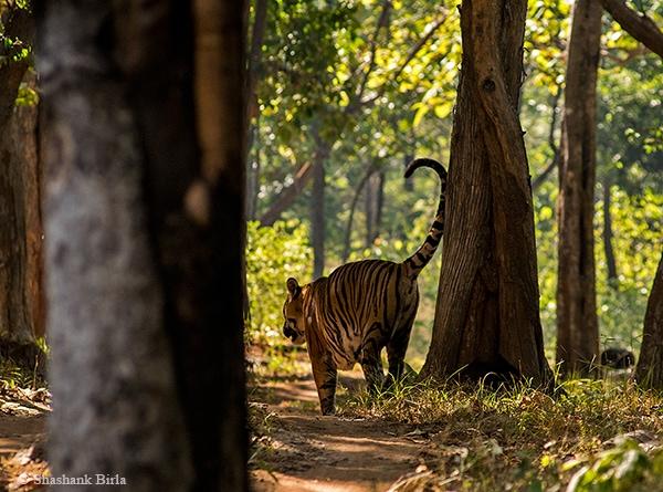Tigress spraymarking