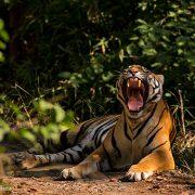 tigress yawn 180x180 - It's a Frog's World- Part 1: Wayanad, Kerala