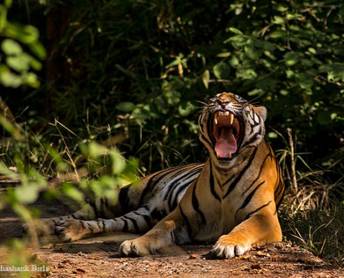 tigress yawn 495x400 - Mount Abu- Encounter with Big Black Baloo
