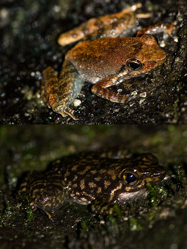 Two different morphs of the same species, Micrixalus saxicola (Small Torrent Frog).