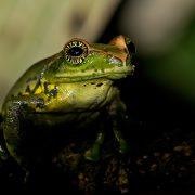 ghatixalus asterops juvenile 600 180x180 - It's a Frog's World- Part 1: Wayanad, Kerala