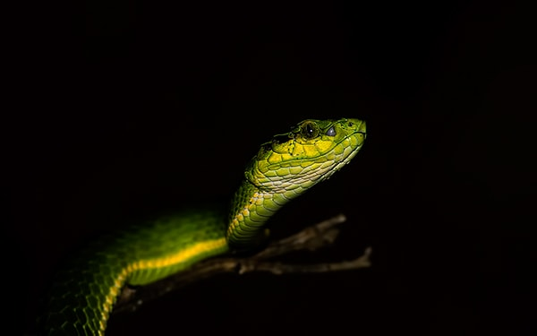 Large-scaled Pit Viper 600 2