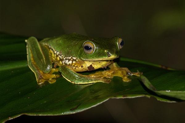 Rhacophorus pseudomalabaricus adult