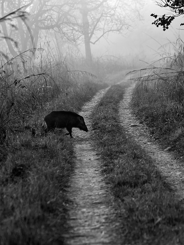 Black and White: Wild Boar crossing