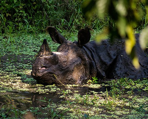 rhino stream feeding1 495x400 - Mount Abu- Encounter with Big Black Baloo