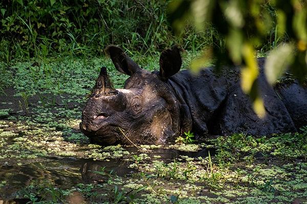 rhino stream feeding1 - Chitwan- A Treasure of the Terai