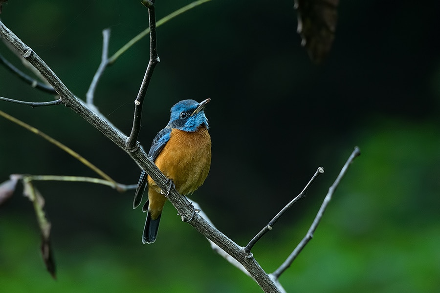 The Blue-Capped Rock Thrush is a winter visitor here, but can be frequently spotted in campus from October to March