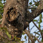 indian scops owl hollow br hills 1 180x180 - Mumbai Birdwatchers' Club: Birding by the beach- Bhuigaon, Vasai