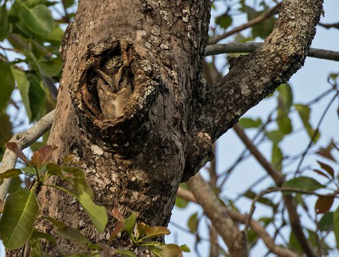 indian scops owl hollow br hills 1 495x375 - Mount Abu- Encounter with Big Black Baloo