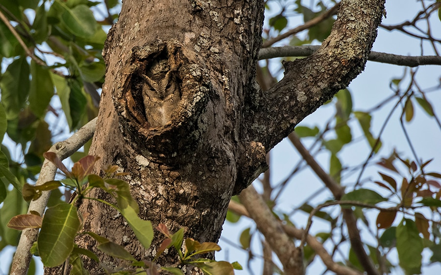 Indian scops owl hollow BR Hills