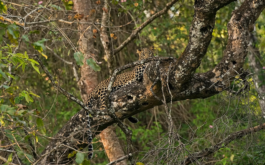 Leopard Eye Contact 1