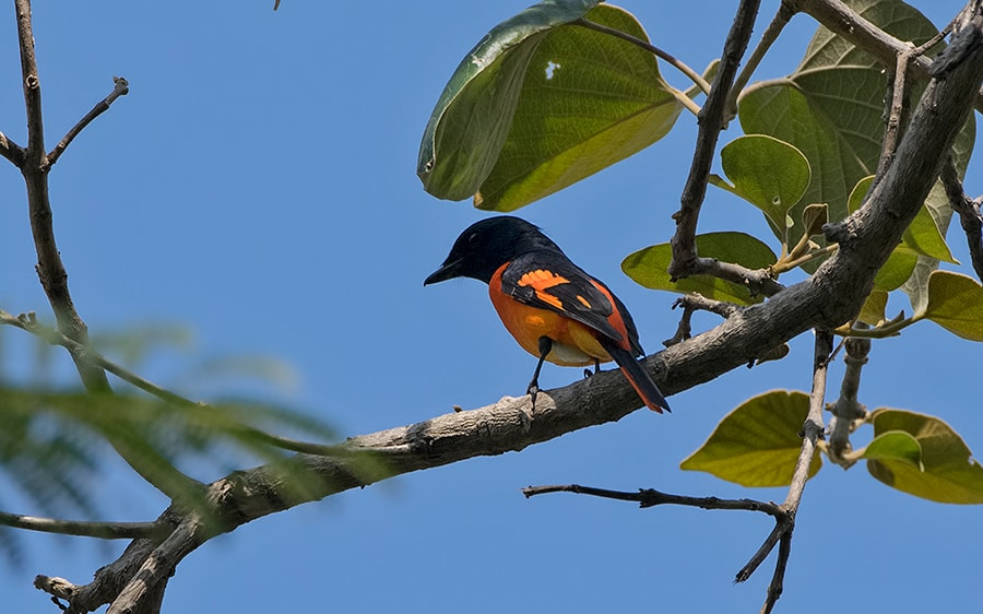 The flamboyant Orange Minivet is a resident species on campus, and is often active through most of the day
