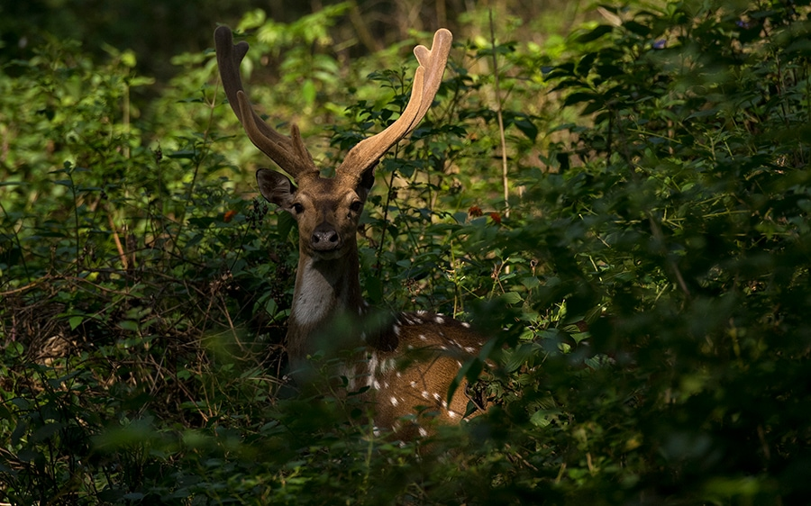 Spotted Deer or Chital, freely move in K Gudi grounds, much like this stag with velvet antlers