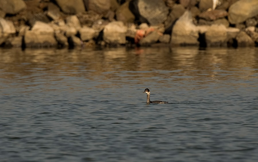 Black-necked-Grebe