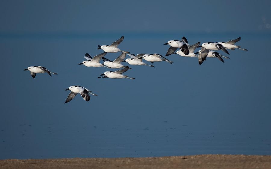 Crab-Plover-Close-Flock-flight