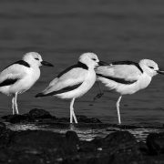 crab plovers bw 900 1 180x180 - Mumbai Birdwatchers' Club: Uran and the Quest for the Common Shelduck