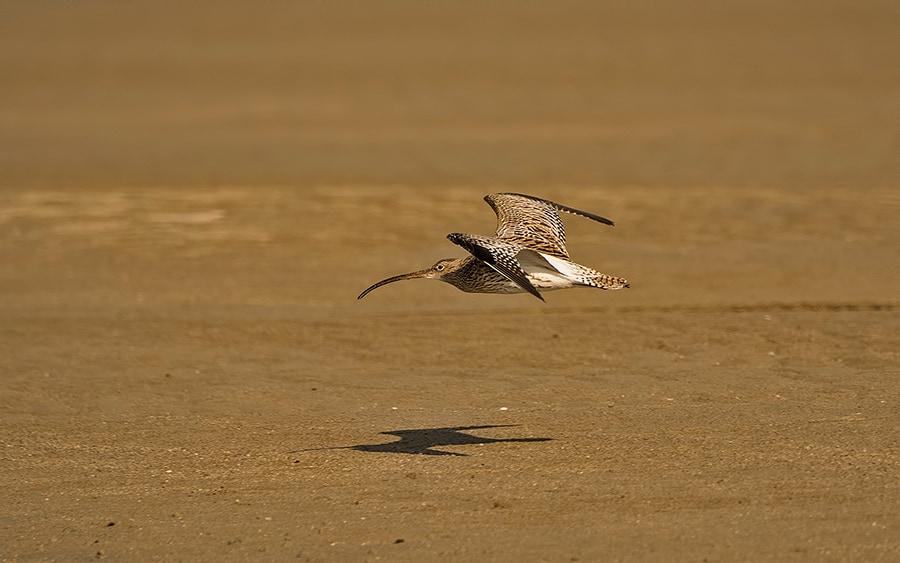 Eurasian-Curlew-flight
