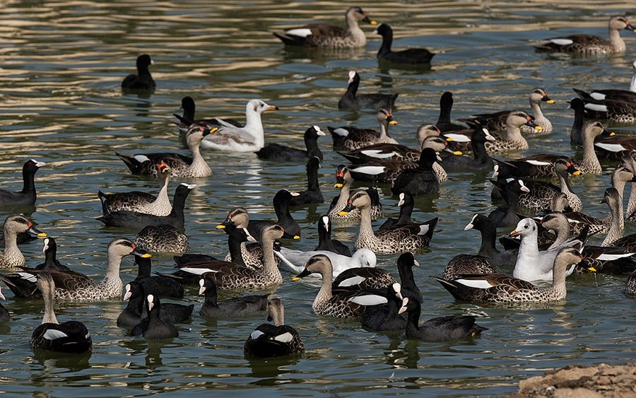 Waterfowl-group