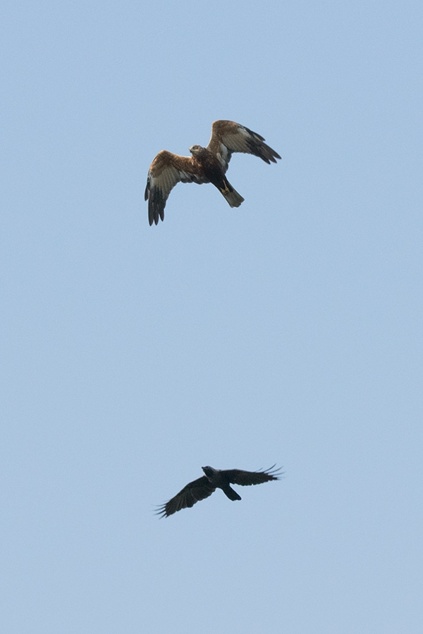 harrier-crow