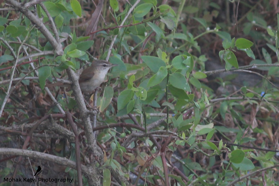 Paddyfield Warbler: The white throat and pale legs help differentiate this warbler from the more widespread Blyth's reed warbler