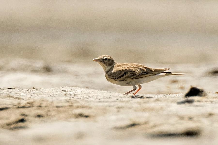 Sykes's short-toed lark, a bird of typically arid habitats