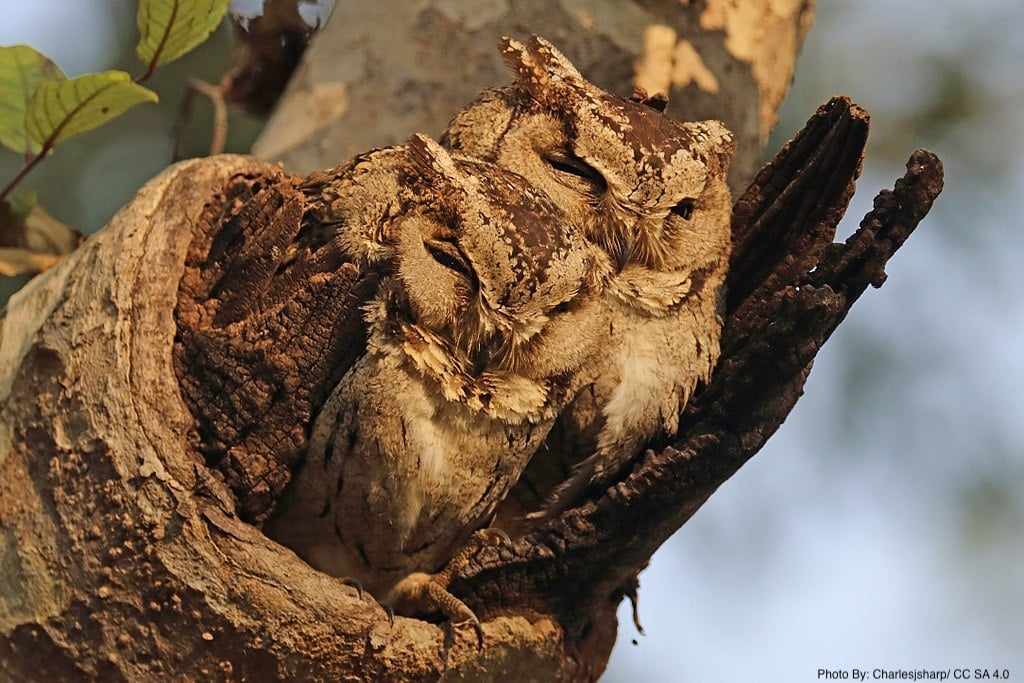 Indian scops owls - Pench National Park