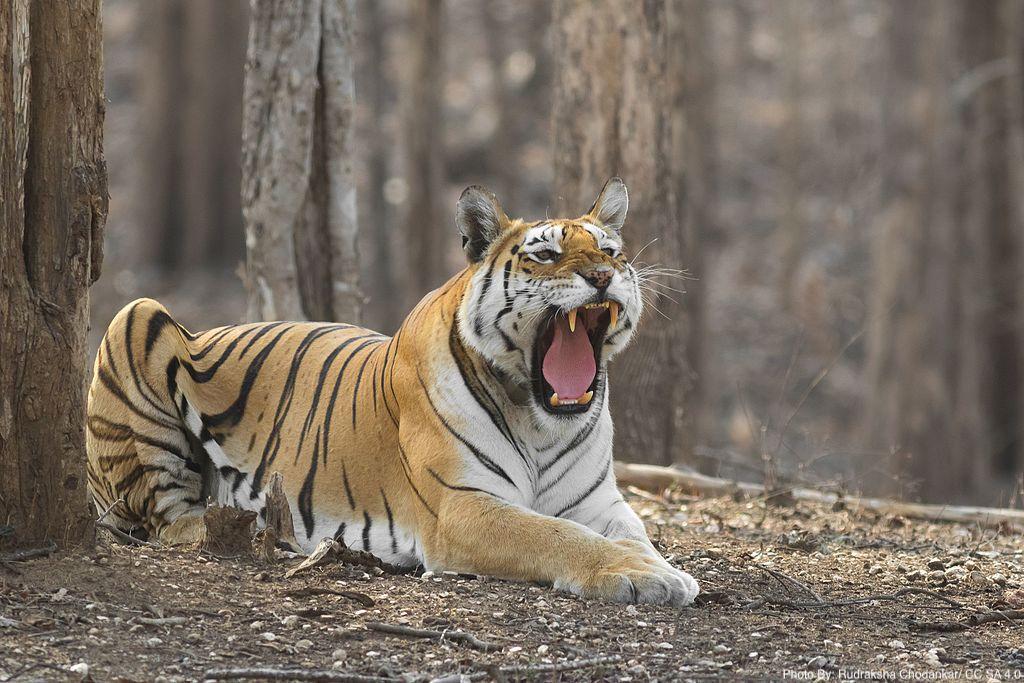 Royal_Bengal_Tiger-0068