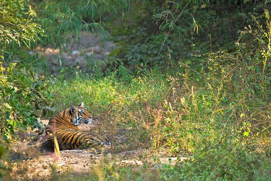 Baras in the Greens Light Image Shashank Birla - Pench National Park
