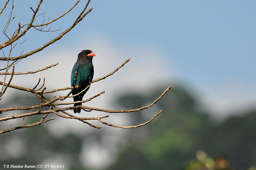 1024px Dollarbird in Middle Andamans - Corbett National Park