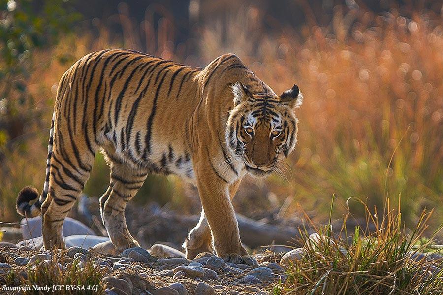 Bengal Tiger in backlight - Corbett National Park