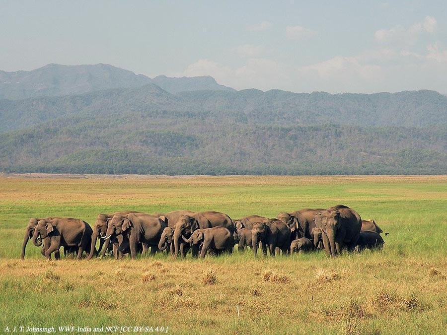Herd of elephants in Dhikala chaur AJTJ DSCN8222 - Corbett National Park