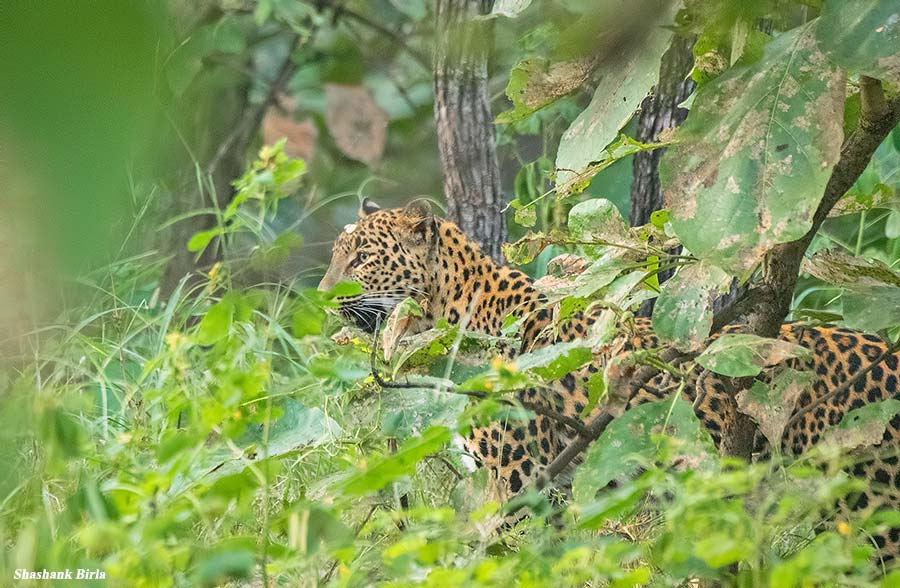 Leopard in the grass Shashank Birla - Panna Tiger Reserve, Madhya Pradesh