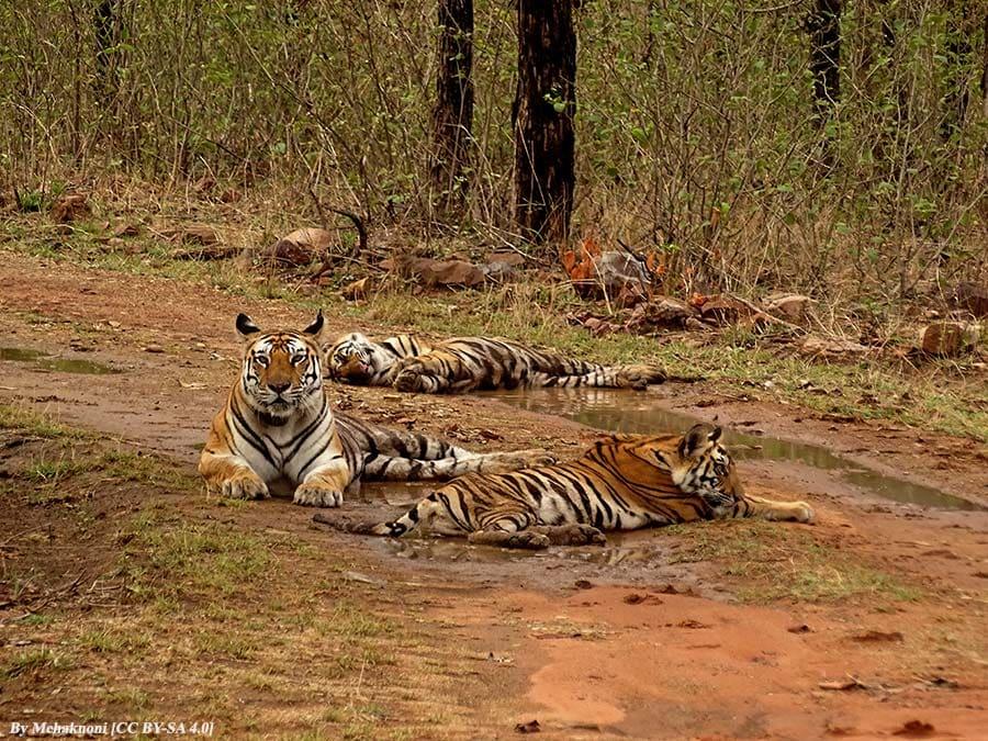 Panna tigers - Panna Tiger Reserve, Madhya Pradesh